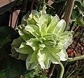 鐵線蓮 Clematis 'Maria Sklodowska Curie' -上海國際花展 Shanghai International Flower Show- (17163139340).jpg