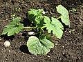 -2020-05-25 Courgette plant, Trimingham (2).JPG