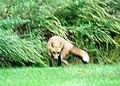 035 Red Fox (8057817781).jpg