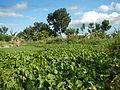 04506jfDomesticated Water Hyacinth Pescadores Poblacion Candaba Pampangafvf 12.JPG