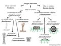 04 02 01 grupos morfológicos, hongos asexuales, hongos imperfectos (M. Piepenbring).png