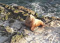 051914 steller sea lion bull rogue reef odfw (15136931711).jpg