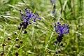 07 LSG 7338 010 Heidewald zwei Schopfige Traubenhyazinthen.jpg