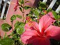 0931jfHibiscus rosa sinensis Linn White Pinkfvf 11.jpg
