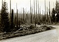 1934. Douglas-fir snags on a 45 year old burn. Clatskanie, Oregon. (37841325405).jpg