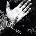 1963. Zeiraphera ratzeburgiana feeding on Sitka spruce buds. Tillamook Head, Cannon Beach, Oregon. (40957421111).jpg