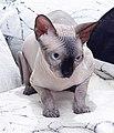 1 adult cat Sphynx. img 023.jpg