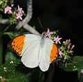 2011-04-25-lepidoptera-hunawihr-2.jpg