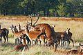 20110923035714!Mating Red Deer.jpg