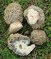 2013-03-03 Morchella steppicola Zerova 313943 crop.jpg