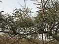 20141123Hippophae rhamnoides3.jpg