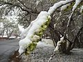 2015-04-08 07 34 32 A wet spring snow on Siberian Elm immature seeds along South 7th Street in Elko, Nevada.jpg