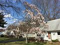 2015-04-13 15 04 30 Star Magnolia blooming along Terrace Boulevard in Ewing, New Jersey.jpg