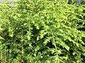 2015-07-05 13 57 09 New growth on Eastern Hemlock along Terrace Boulevard in Ewing, New Jersey.jpg
