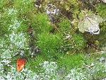 20170815Hottonia palustris.jpg