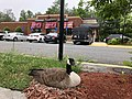 2018-05-13 17 06 32 Canadian Goose sitting on a nest in the parking lot of the Applebee's in Fair Lakes, Fairfax County, Virginia.jpg