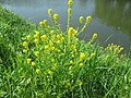 20180509Barbarea vulgaris1.jpg