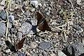 2019-06 Kalamalka Lake Provincial Park (16) Lycaena dorcas florus.jpg