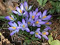 2020-02-17 14 29 29 Crocus tommasinianus blooming along Tranquilty Court in the Franklin Farm section of Oak Hill, Fairfax County, Virginia.jpg