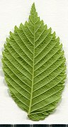 2020 year. Herbarium. Ulmus. img-004.jpg