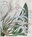 2684 Crinum asiaticum.jpg