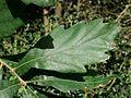 3930-Quercus x turneri 'Pseudoturneri'-Arb.Brno-10.12.JPG