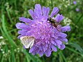 4900 - Mürren-Gimmelwald - Diptera on Flower.JPG