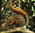 6 Especie de ardilla (Sciurus), Henri Pittier, Venezuela.jpg