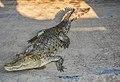 A Crocodile from Sundarbans,Bangladesh.jpg