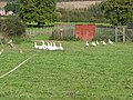 A Gaggle of Geese - geograph.org.uk - 587512.jpg