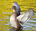 A Mallard duck airs its wing feathers.jpg