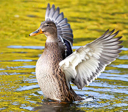 A Mallard duck airs its wing feathers
