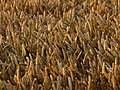 A Wheat Field just after Dawn - geograph.org.uk - 1412927.jpg