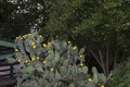 A fine patch of prickly pear catctus in Salado, Texas, a town between Waco and Austin LCCN2014633711.tif
