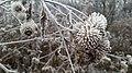 A frosty bramble in King's Park in Winnipeg, Manitoba, Canada (31311598196).jpg