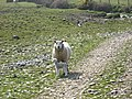 A protective mother on the coastal path at Hen Borth - geograph.org.uk - 1218523.jpg