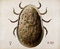 A tick (Argas miniatus). Coloured drawing by A.J.E. Terzi. Wellcome V0022543.jpg
