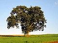 Abacateiro Lavoura (zoom).jpg