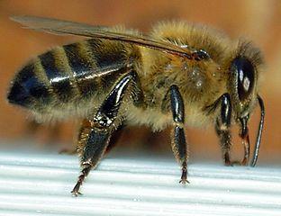 Maladie de l'abeille dans ABEILLES