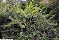 Abeliophyllum distichum 2zz.jpg
