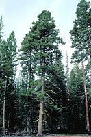 Abies concolor tree.jpg