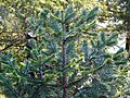 Abies pindrow India10.jpg
