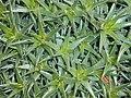 Abromeitiella lorentziana 2017-05-31 2213.jpg