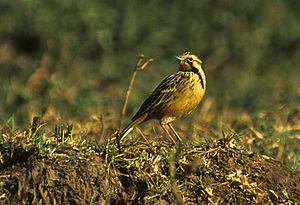 Abyssinian longclaw - Image: Abyssinian Longclaw Ethiopia 2 (17000135681)