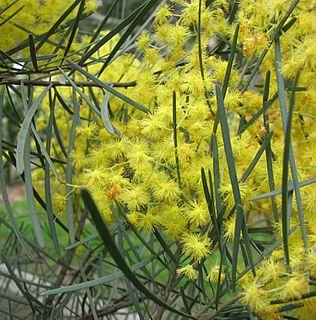 <i>Acacia cognata</i> species of plant