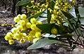 Acacia pycnantha (Golden Wattle) (24703436330).jpg
