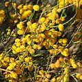 Acacia restiacea.jpg