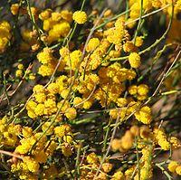 Acacia restiacea