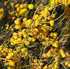 Description de l'image Acacia restiacea.jpg.