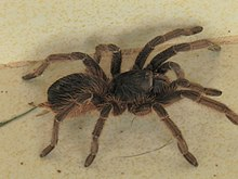 Acanthoscurria paulensis.JPG